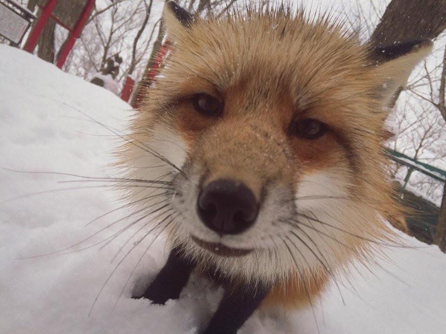 zao-fox-village-japan-13