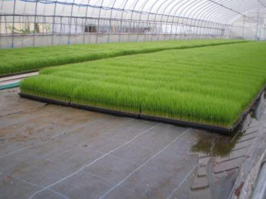 Semis de riz en serre de plastique