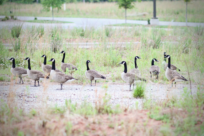 Canadian Geese, Birds, Flock