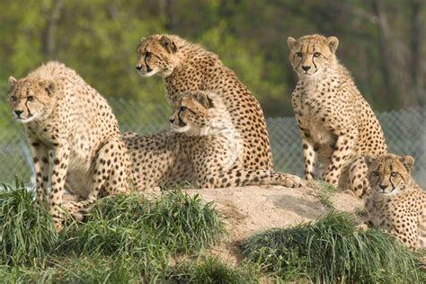 cheetahs cut    cloth  moment  science