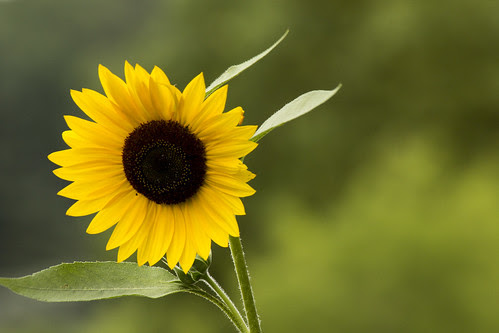 Sunflower by bahayla