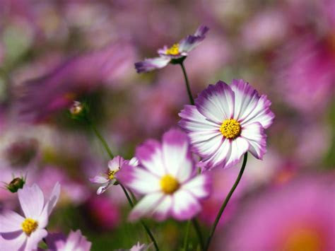wallpapers flowers wallpapers