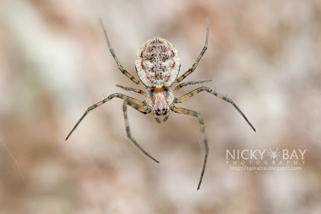 Ornamental Tree Trunk Spider (Herennia sp.) - DSC_1652