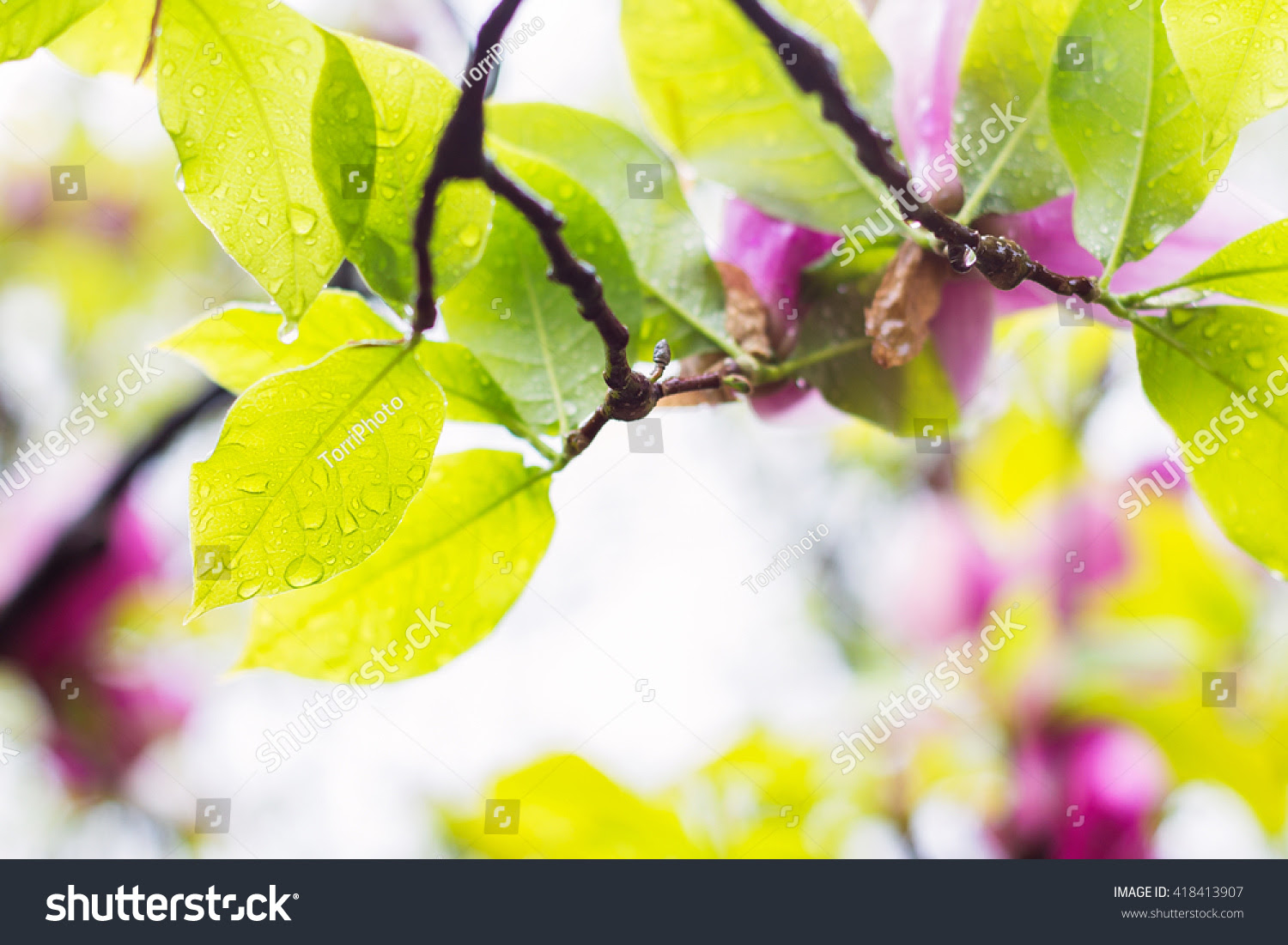 background, beautiful, blurred, bokeh, botanic, botanical, botany, close, copy, defocused, delicate, design, dew, drop, droplet, flora, floral, flower, focus, forest, fresh, freshness, garden, green, leaf, light, lush, magnolia, natural, nature, outdoors, park, pink, plant, rain, romance, romantic, season, selective, shallow, simple, space, spring, springtime, summer, tree, up, water, wet, yellow