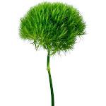 USA Bouquet Dianthus, Green (100 stems)