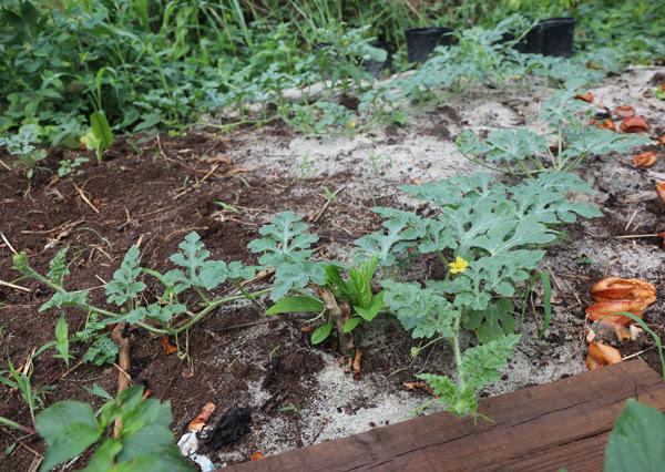 Watermelons Growing In Sand The Survival Gardener
