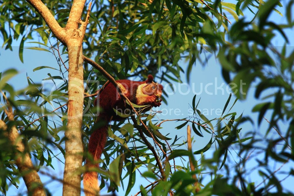 Malabar Giant Squirrel, Dandeli Wildlife Sanctuary