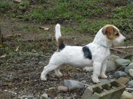 Parson Russell Terrier Dog Description, History and Temperament