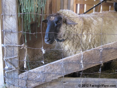 2012 Sheep shearing day 32 - FarmgirlFare.com
