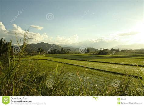 Green Rice Paddies Philippines Countryside Royalty Free