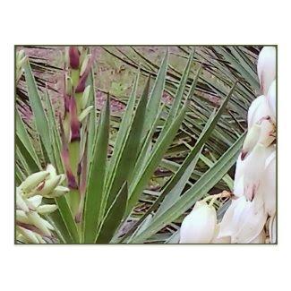 Spanish Bayonet Yucca Blossoms Postcard