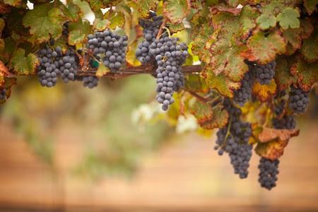 bourgogne: Raisins vins luxuriantes, Ripe sur la vigne sont prêtes pour la récolte.