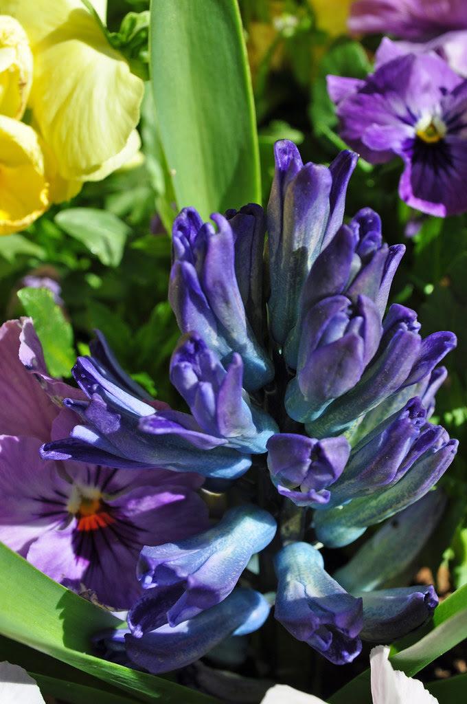Hyacinth and Pansies 1