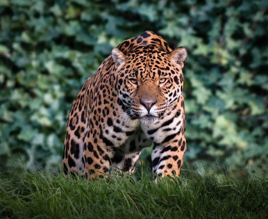 """Stalking Jaguar"" by Bjammin"