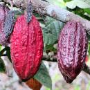 cultivar cacao