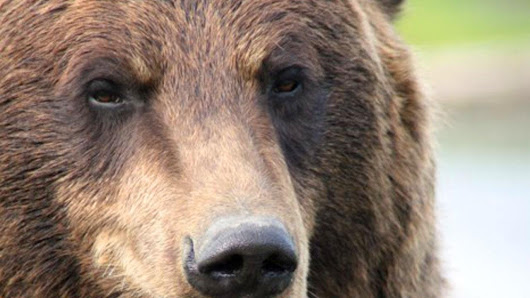 Grizzly kills Forest Service officer (Update 1)