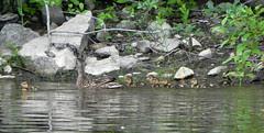 Parc de la Rivière des-Mille-Îles, ducklings, Canada day 2011