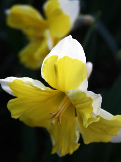 Narcissus 'Cassata' 5 stk