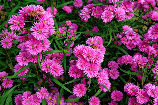 Mickey Rathbun: Of politics and asters - Going Green