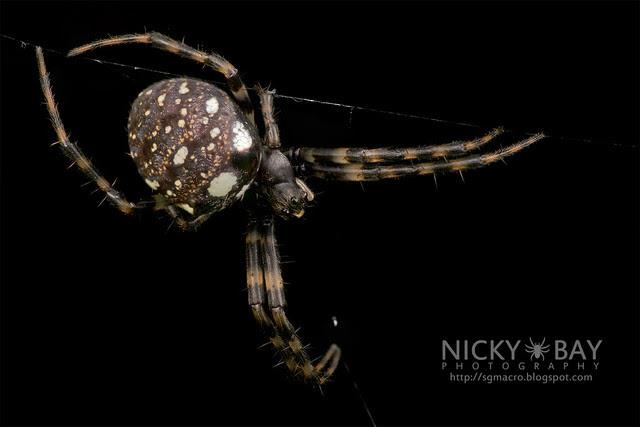 Orb Web Spider (Gea sp.) - DSC_2938