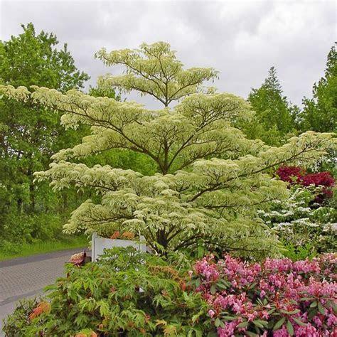 Cornus controversa Variegata   Wedding Cake Trees For Sale