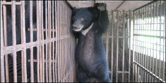 Petition: Save Moon Bears from Bear Farming Torture