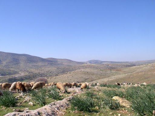 Kh. al-Malih-خربة المالح: رعي الأغنام