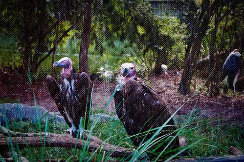 090510_vultures.jpg