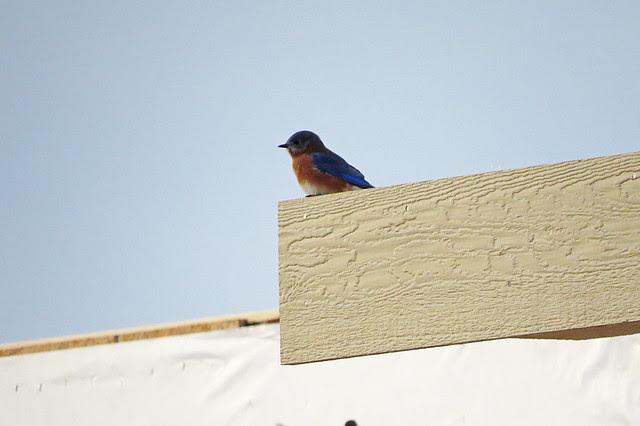 IMG_0484EasternBluebird