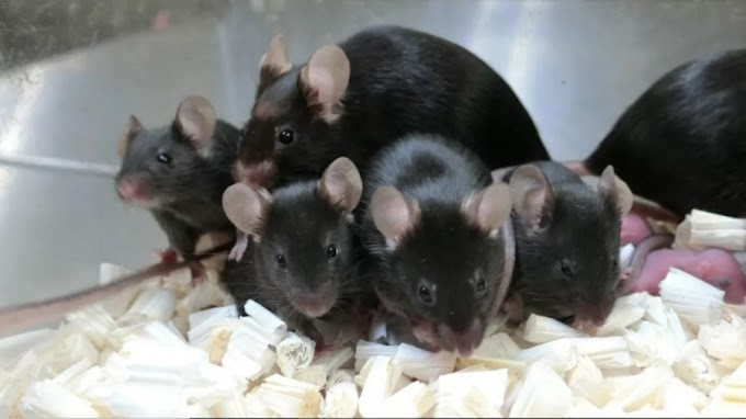 These Mice Were Born From Sperm That Spent Almost 6 Years in Space