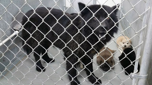 Pitt County Animal Control: Put a stop to euthanizing Chow