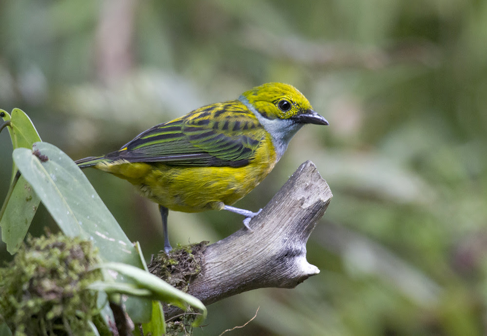 SlateThroatedTanager