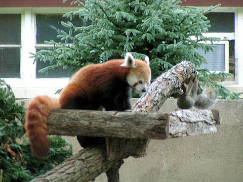 red panda meets squirrel