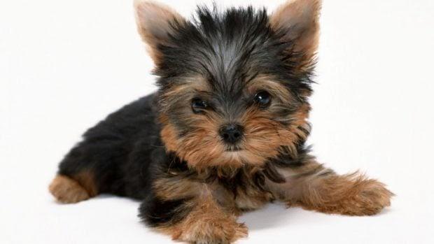 ¿Es cierto que tienen peor carácter los perros pequeños?