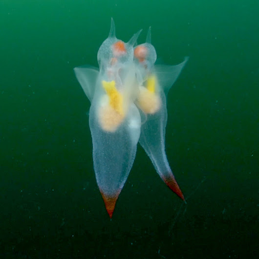 Rare Video Shows Sea Angels' Graceful Mating Dance — National Geographic
