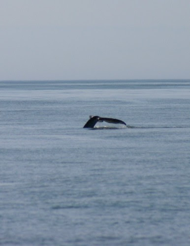 grey whale tail 1