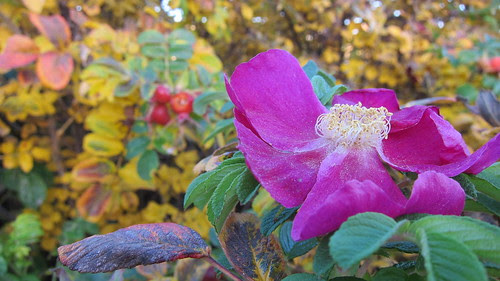 Viimeinen ruusu
