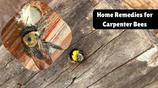 Effective Home Remedies for removal of Carpenter bees