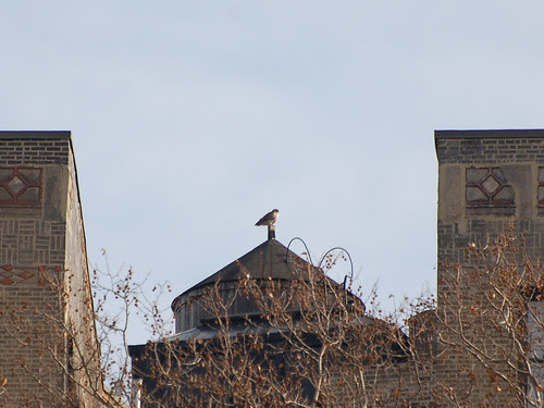 Water Tower Red-Tail, Riverside & 150th