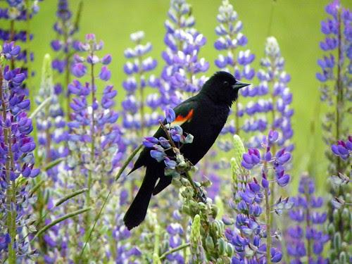 Red-Winged Blackbird II