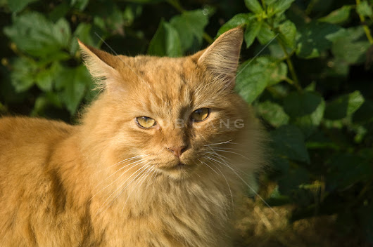 Orange Long Hair Tabby Cat