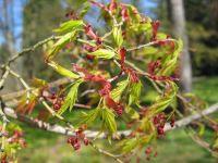 Blütenknospen Acer palmatum
