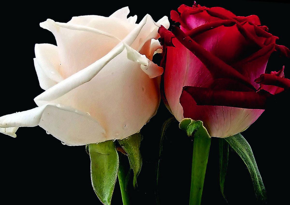 Risultati immagini per guerra delle due rose