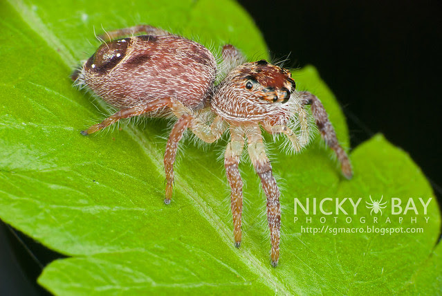 Jumping Spider (Salticidae) - DSC_8057