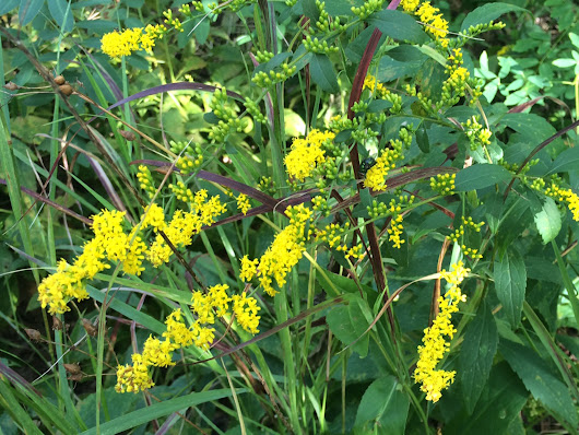Late-summer allergies? Don't blame goldenrod.