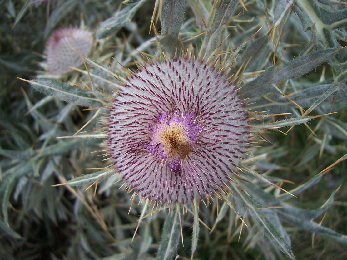 Cirse laineux ou porte-laine - cirsium eriophorium - Photo de fleur sauvage