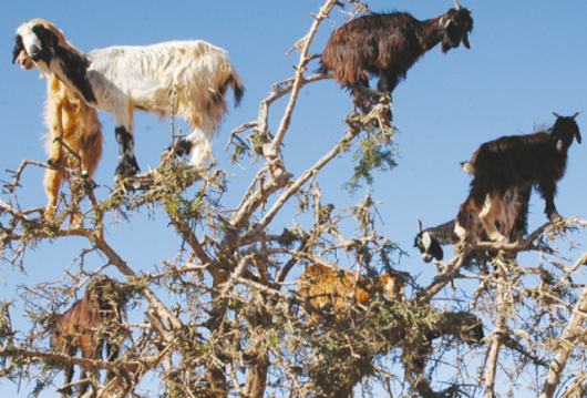 Tree-Climbing Goats Scatter Seeds By Spitting