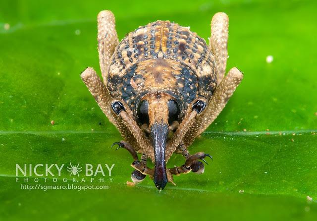 Weevil (Curculionidae) - DSC_0664