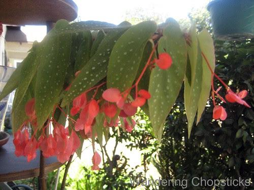 9.30 Begonias 1