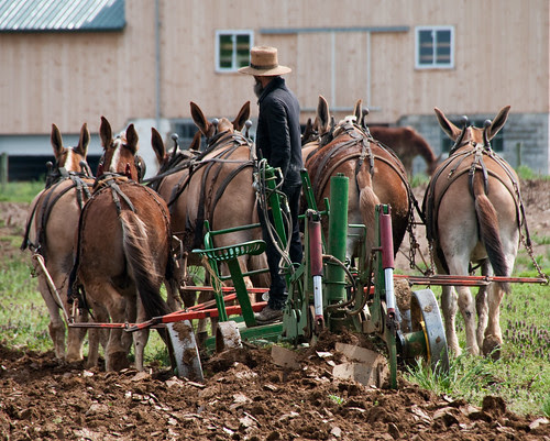 Amish Farmer and Mules